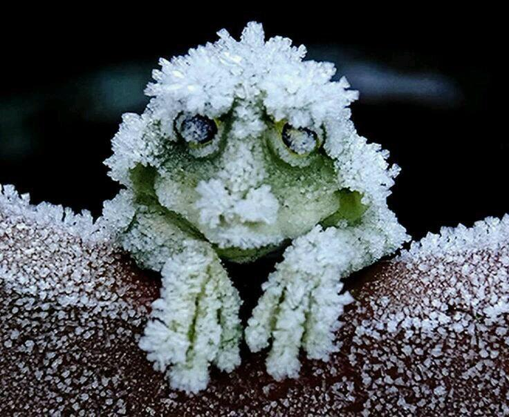 The Alaskan tree frog. Freezes solid in winter, its heart stopping, then thaws in spring and merrily hops off http://t.co/bJPEPHBhTm
