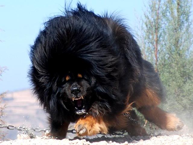 ce chien est un mastiff tib tain ils sont utilis s pour chasser les ours. Black Bedroom Furniture Sets. Home Design Ideas