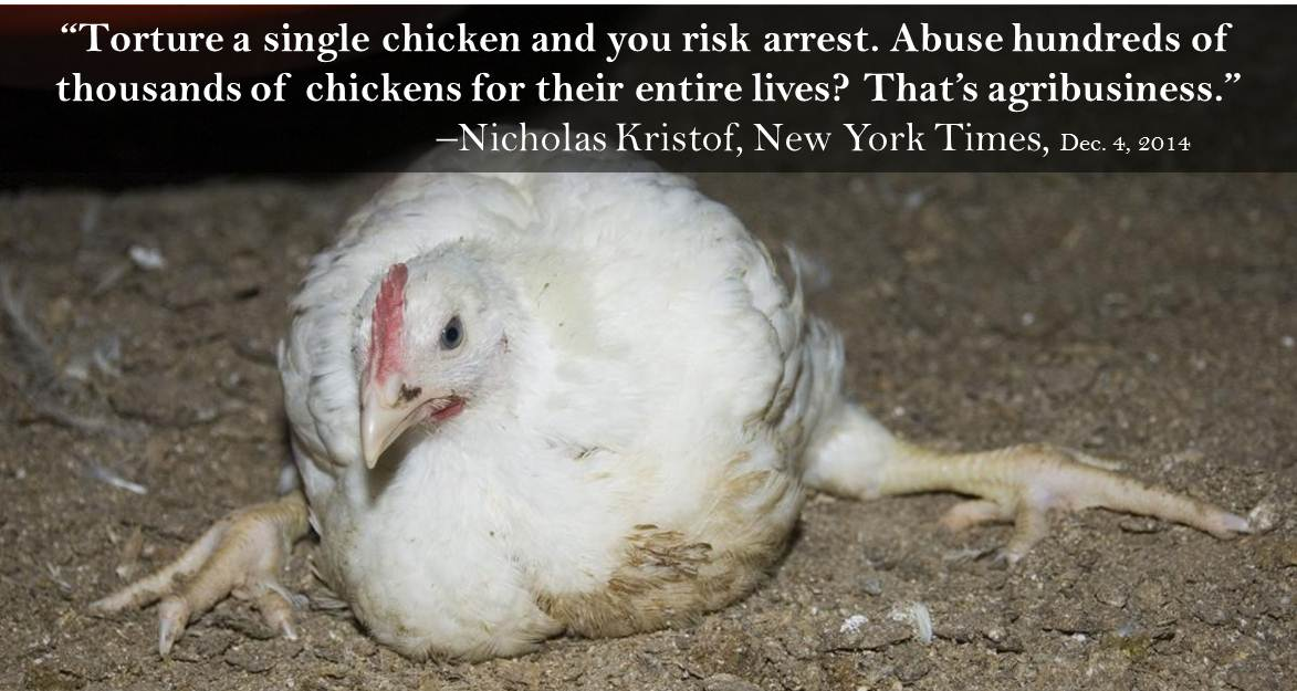 Potent @NickKristof @nytimes column re chicken industry's rampant cruelty: http://t.co/7J8X5gAHm1 (Pls RT!) http://t.co/NlH7Ieq7iy