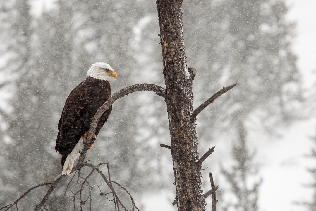 Afternoon snapshot: as the snow flies, a bald eagle watches intently for movement in the Gibbon River. #birds http://t.co/Et84Dzj94w