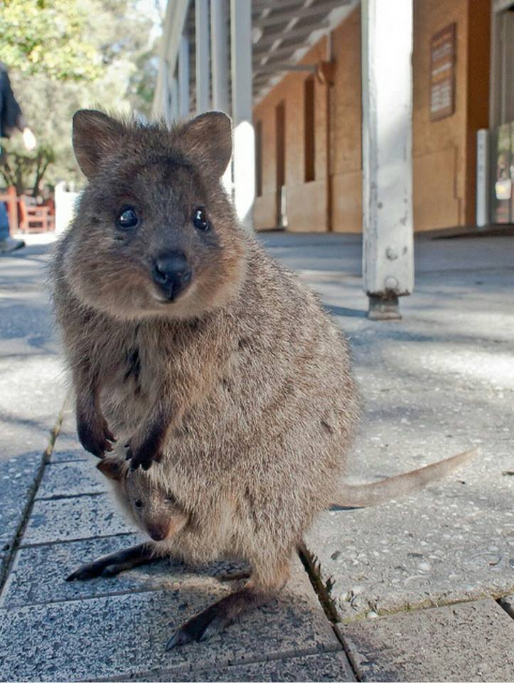 Who said Australia is all about deadly snakes and spiders? Here we see a Quokka and her baby out for a stroll. http://t.co/G5OgMo99Ob