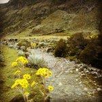 Frailejones en Flor solo en #Merida #Venezuela #Paisajes #Naturaleza #MeridaNatural http://t.co/jLAE5c6lHG