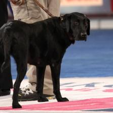 ACE Award winner, Search & Rescue dog Patella. More than just a dog show. #CelebrateDogs http://t.co/pONi4vbJbz http://t.co/OcLmlr3ilf