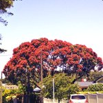 Breaking: Pohutukawa trees all over Auckland turn red in protest to the planned cutting down of the @Pohutukawa6 http://t.co/VGQfroHUqF
