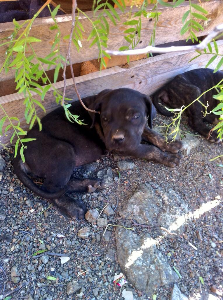 @lindorfovet Se regalan cachorros de mes y medio de Mama Bull Mastif RT http://t.co/Ms9LzfewX1