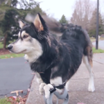 Derby, a dog born with deformed legs, now runs thanks to 3D printing http://t.co/Ia6YIKdyeL