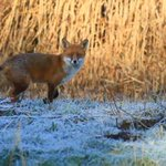 RT @forestfarmuk: Lovely fox at forest farm this week taken by John Lewis #cardiff @wildlife_uk @Cardifftweeter http://t.co/ql7QpvliJK