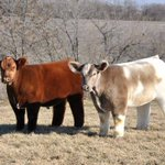 Cows with a blow dry… http://t.co/MFX1yQRgQ3