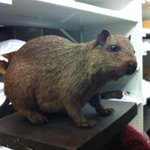Today I have a date with this extinct rodent and @Comet_Moth_HM at @RAMMuseum http://t.co/fBOMs2zLMw
