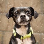 #WinterFairy wants to bring magic to your home! Adopt #BostonTerrier/Chi mix at our #Oakland shelter. http://t.co/CYEMwSUmHZ