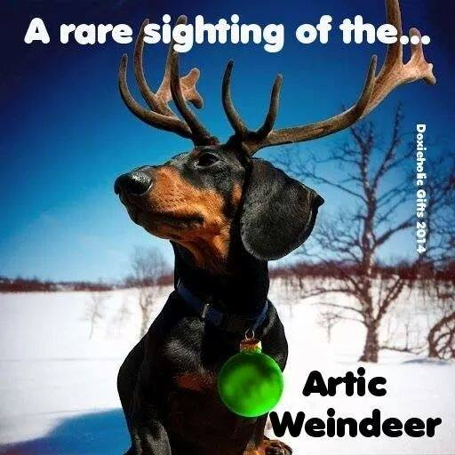 the rare arctic Weindeer… found only in Canada. #doxieposse http://t.co/vbQ7ETizk2
