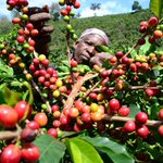 Kenyan coffee voted the best in the world by lead taster http://t.co/iC1PPuW4hu http://t.co/E9Kz0LCtxk