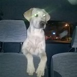 Se perdio ROCKO labrador blanco de un año en Fernando de la Mora zona ingavi ayuda porfa 0982618724 RT Por favor!!!! http://t.co/IJNFEZTVfq