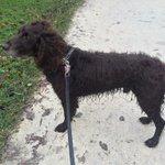 Ik heb deze prachtige en lieve hond gevonden bij het #Westerpark #amsterdam. RT please! http://t.co/8mFDtoFtew