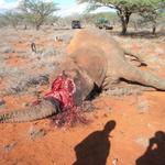 Help us to fight against #poaching #elephant #ivory #KilltheTrade #zambia #wildlife #vet @GameRangersInt #china http://t.co/c769CQRGg3
