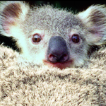 On this #ForgottenDaySF in 1960, an adorable baby koala took zookeepers by surprise. http://t.co/GwUFcDzfUy http://t.co/5psq46Xj08