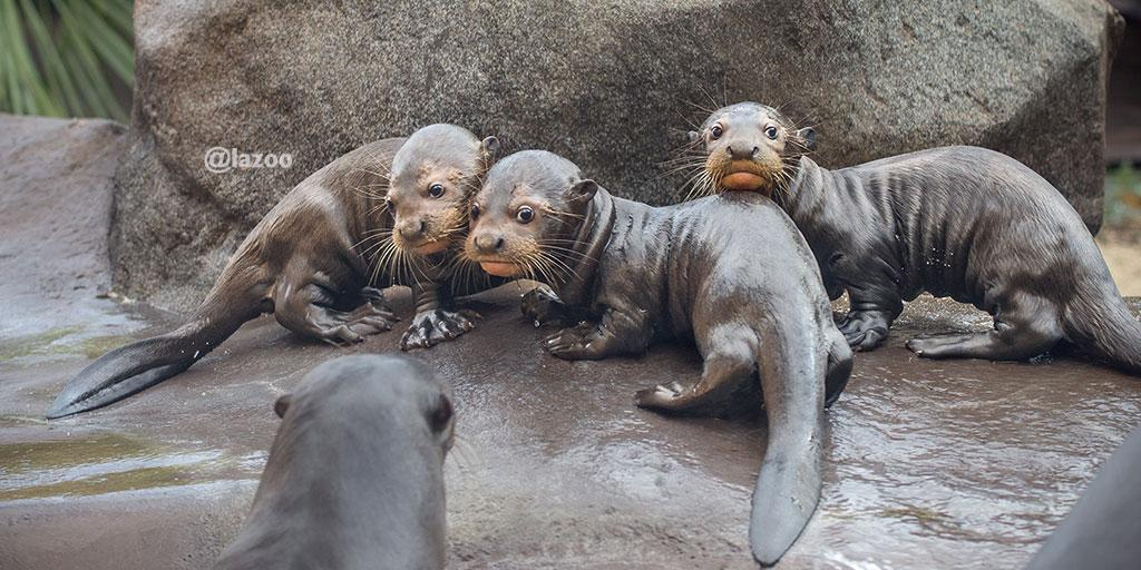 BREAKING NEWS: Proud to announce three endangered giant river otter pups! http://t.co/NUo44iQl8D #LAZooBabyOtters http://t.co/CKsxJDRV1p