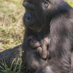 Its a boy! Western lowland gorilla born @BuschGardens #Tampa earlier this week! http://t.co/WqJ84WQvRQ