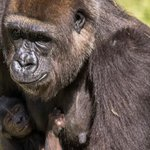 Busch Gardens welcomes baby gorilla: http://t.co/ZVoVV40d9W http://t.co/4qEJEPhxEQ