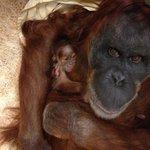 Its a girl! Meet @stlzoos new baby orangutan! http://t.co/OT8tehnBwf #STL #animals #Merah #newmama http://t.co/O6XErBYF9g ttp://twtd.by/R