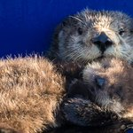 MT @MontereyAq: Mother love! Otter mom Clara is part of a study @ucsc. Pup will be released to wild by our staff! http://t.co/4gJvn5rDok