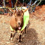 Frankie the goat assists @WilliamWoodyNC on a Scene photo shoot at Bywater bar. #OnlyInAsheville http://t.co/5Khr1c85NF