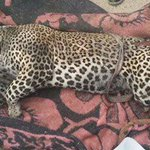 The last leopard of #Egypt killed by shepherds in Halayeb on the Red Sea. http://t.co/utZn4b06I2