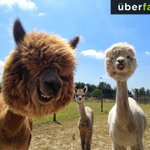 Alpacas can die of loneliness – When purchased they always need to be bought in pairs. http://t.co/bWPo0IGd6a