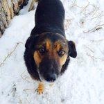 Приют в Тушне, Виола. От таких глаз так сложно уехать. Идеальная собака. Вдруг  кто-то ищет друга. RT #ulsk http://t.co/lKl3EkFyrd