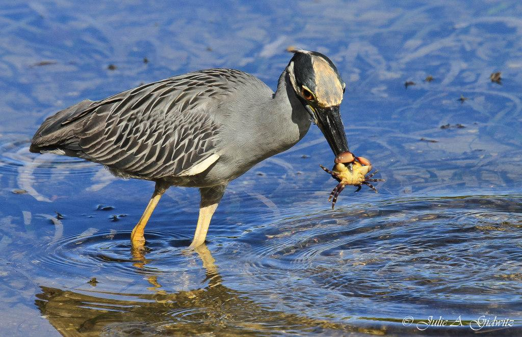 Seafood Feast at Low Tide http://t.co/DrMbKHrcPm … #birding #birdwatching #birds #photo #nature http://t.co/8h20aoZSRZ