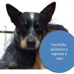 """Se busca perrita Blue Heeler, responde por """"Keiko"""", vista por última vez por el estadio, #cdvictoria, info al 3153712 http://t.co/ufhn11DZFB"""
