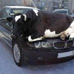 Hahaha! RT @SwedishCanary It's cold out & animals like warm cars.