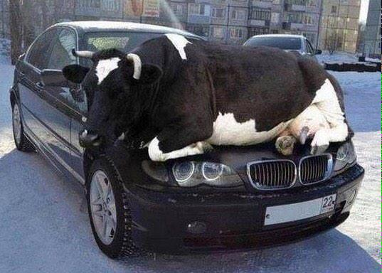 As days get colder, animals are attracted to the warmth of cars. So check your wheel arches or other hiding places x http://t.co/qAIXkv8hYY