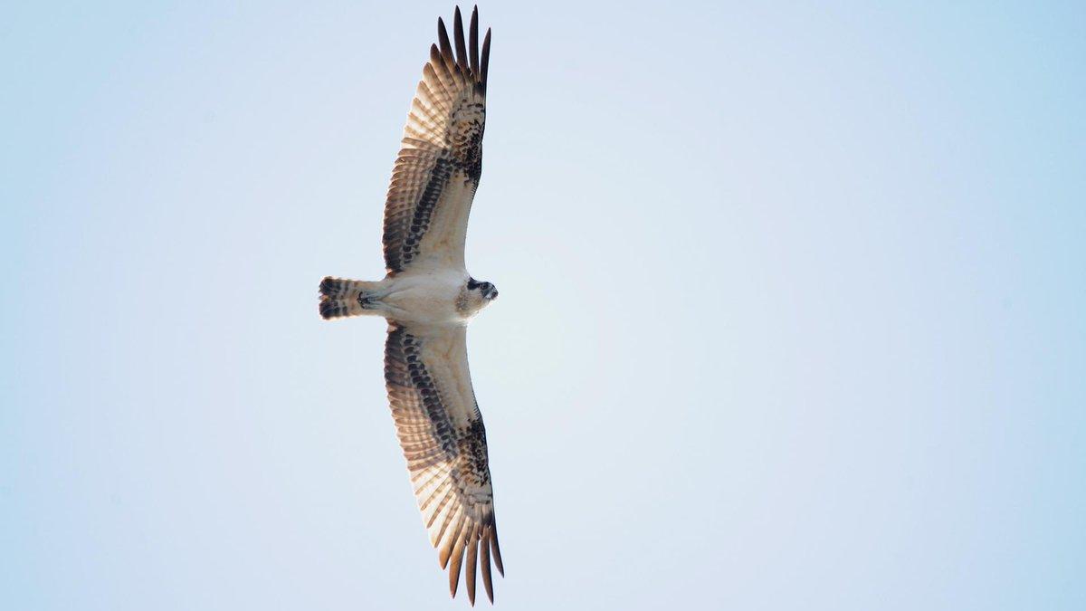 南房総市白浜町滝口の長尾川河口付近にて、ミサゴを3羽見かけました。 観察されているのは私でしょうか。 http://t.co/nKeWuerG0G