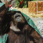 "Justicia argentina reconoció derechos de orangután como ""sujeto no humano"" http://t.co/l24yTyQmGX http://t.co/mpQmxaXitu"