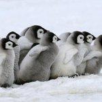赤ちゃんペンギンは、みんなで仲良く散歩する【モフモフ画像集】 http://t.co/TlUC3houvh @HuffPostJapanさんから http://t.co/b48sIPGEwB