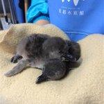 【ぴーぴー】京都水族館でケープペンギンの赤ちゃん誕生 今シーズン初めて http://t.co/YsdAeyn138 今月17、20日に相次いで孵化(ふか)した。いずれも体重は約60グラムで、性別は現在鑑定中だという。 http://t.co/OBxmqmPsb8