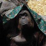 """Argentina, l'orango Sandra è una """"persona non umana"""" e ha diritto di essere libera  http://t.co/gsfOjdMN8J http://t.co/HaGSqNK4Dh"""