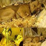 Puglia: un #cane #randagio cerca un rifugio caldo in un #presepe e ci ricorda il vero significato del #natale. http://t.co/OAkUEI77lj