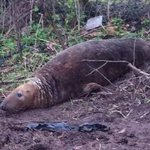 Seal discovered in middle of Merseyside field http://t.co/vgoqcFlrbh http://t.co/MaSdDtT5hE