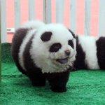 Cani truccati da panda: blitz della Forestale al circo Orfei http://t.co/BXYTkAS8k0 http://t.co/VaFUaQPewB