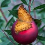 The butterflies have some Christmas spirit! #welovebugs #holidayseason #holidayspirit #SiouxFalls http://t.co/1FjkI7SEM6