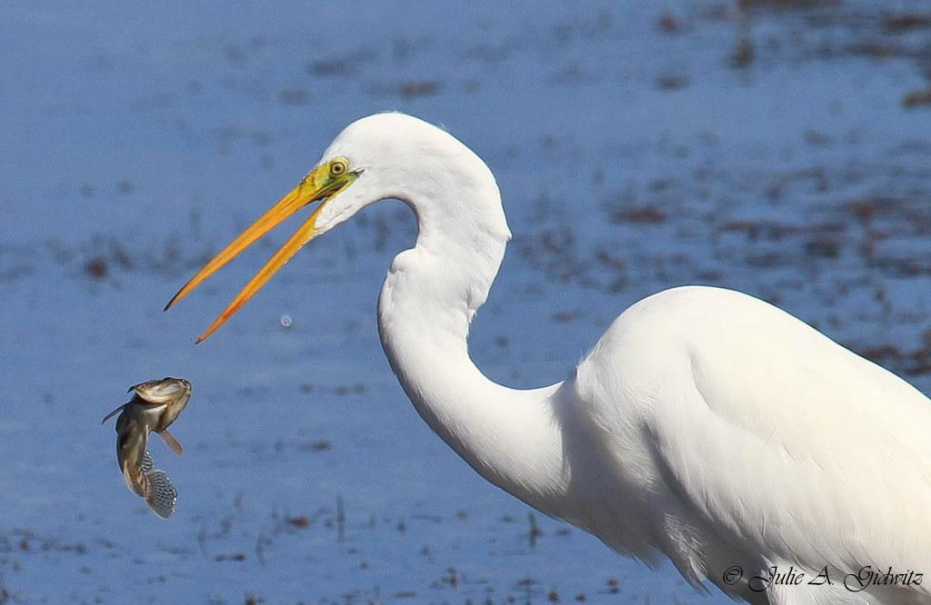 Seafood Feast at Low Tide http://t.co/DrMbKHrcPm … … … #birding #birdwatching #birds #photo #nature http://t.co/IgsrtDNmUH
