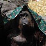 Sandra the orangutan inside Argentina zoo granted human rights in landmark ruling http://t.co/ZDq7YyAyvJ http://t.co/IzYZUZR7jW