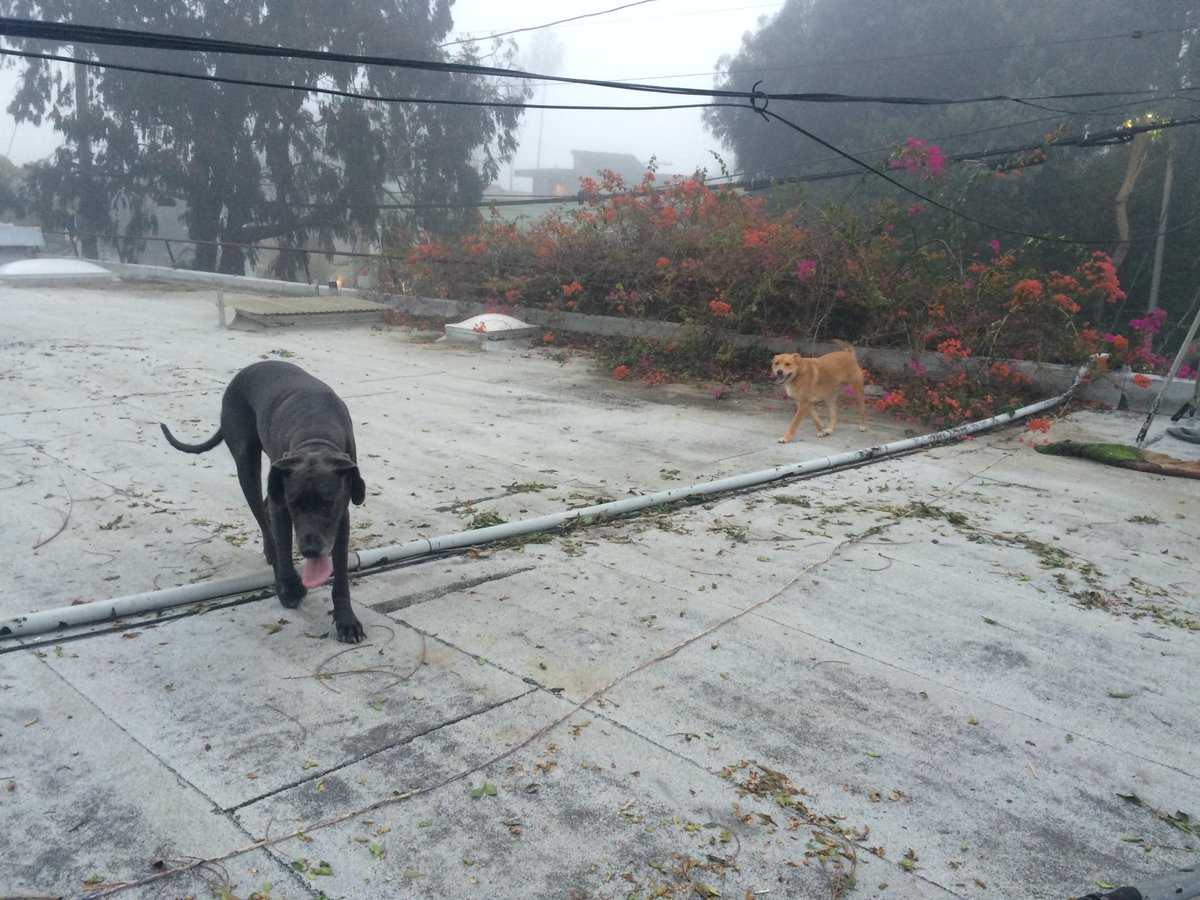@Venice311 just grabbed this Dane and mutt out of Main and Westminster in the street. Anyone know them? http://t.co/3Yv4qeIE6N
