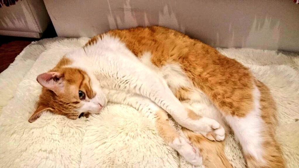 普段、余程のことがない限り原稿邪魔する猫をPC前から降ろさないのですが、今日降ろしまくってたら「ボクはもう愛されていないんだ・・」みたいな自信喪失顔して寝てる。 http://t.co/BuXD6Jct8x