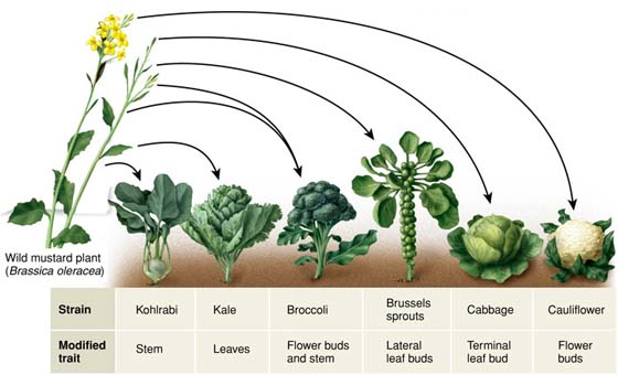 MT @Stewart_Barker: reminder that broccoli, cauliflower, sprouts, kale and cabbage are the same species! http://t.co/ddNoRIARmh