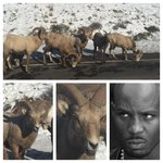Bighorn sheep caught mean mugging in the wild.