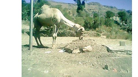 """@Alrabe3a: اليمن | صورة مؤثرة لجمل يرابط عند قبر صاحبه لليوم الرابع على التوالي http://t.co/WhjkM9GQX6"""