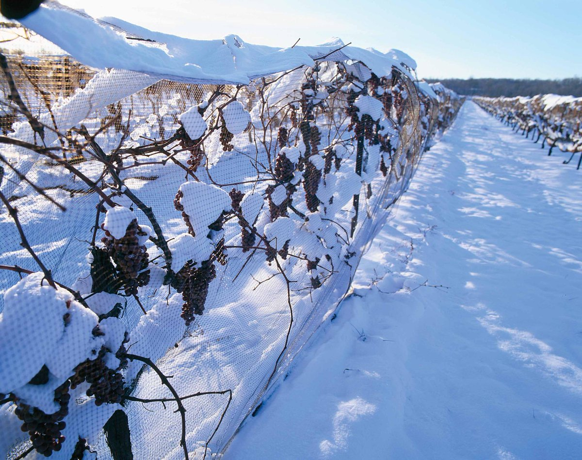 The world-famous Niagara Icewine Festival runs from Jan 9-25! Visit http://t.co/tcMgaMFOO8 for details. #IcewineFest http://t.co/b9ACBuZJ5h